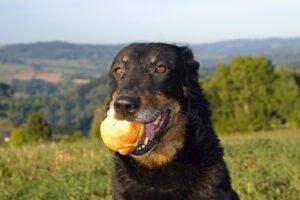 cane nero con mela in bocca
