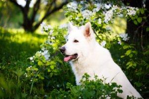 cane bianco vicino a un ramo fiorito in bianco