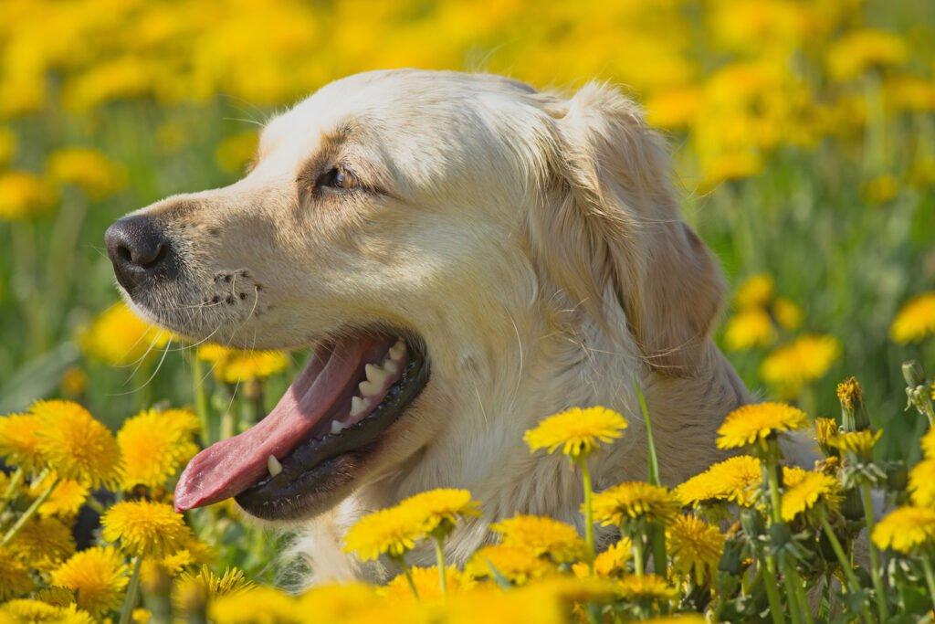 labrador biondo, immerso in un campo di tarassachi