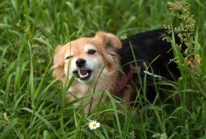 cane che mangia un filo di erba
