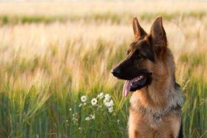 cane sullo sfondo di un prato di forasacchi