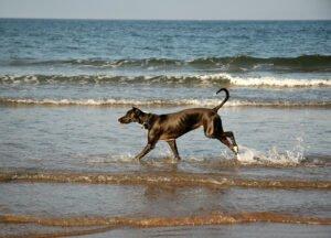 Cane nero corre libero in riva al mare