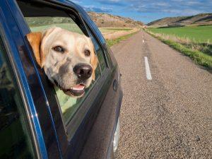 golden retriver sorridere dal finestrino dell'auto mentre questa viaggia sulla strada