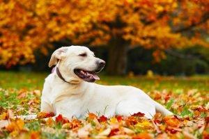 Labrador a manto chiaro, sdraiato su foglie autunnali ruggine e sullo sfondo alberi con foglie autunnali