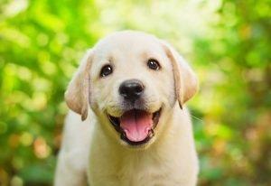 cucciolo di labrador biondo sorride all'obiettivo, con sullo sfondo degli alberi sfocati